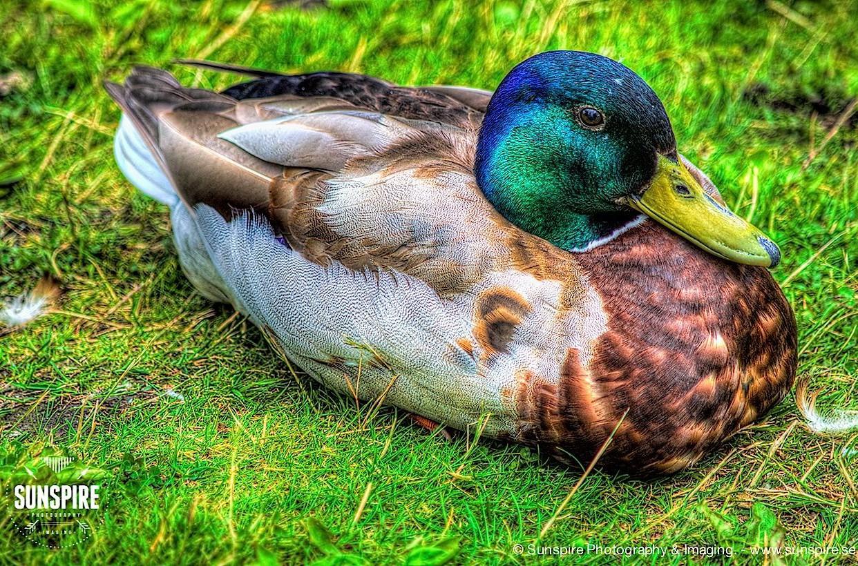 Mallard resting in the grass...